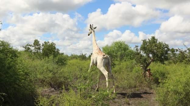 World's only white giraffe
